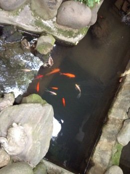 Orange fish in a pond, seen from above