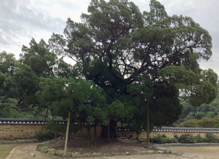 The aromatic tree at Seobaekdang - ancient