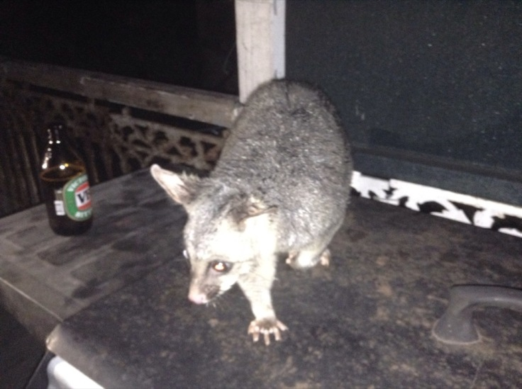 Possum, on the table, on the verandah, next to a bottle of VB