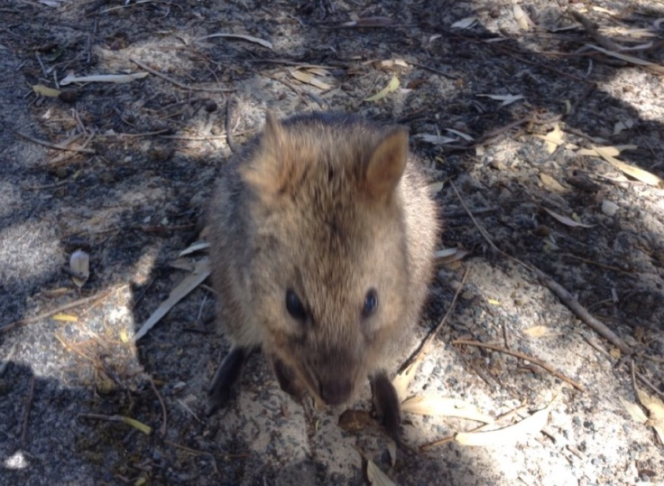 A Quokka, up close. Small, furry and tame.