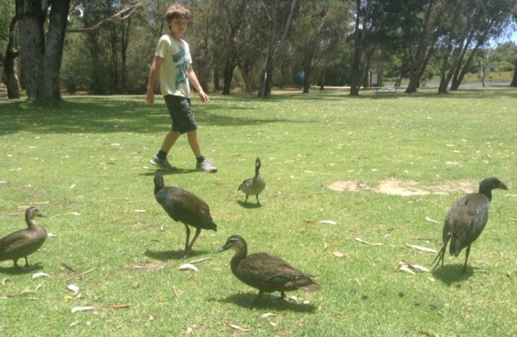 Young boy walking next to tame ducks, on wide expanse of green grass