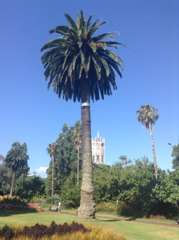 Tall palm tree, with the university clock tower looking much shorter, behind