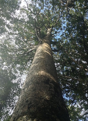 Looking straight up a tall Kauri tree