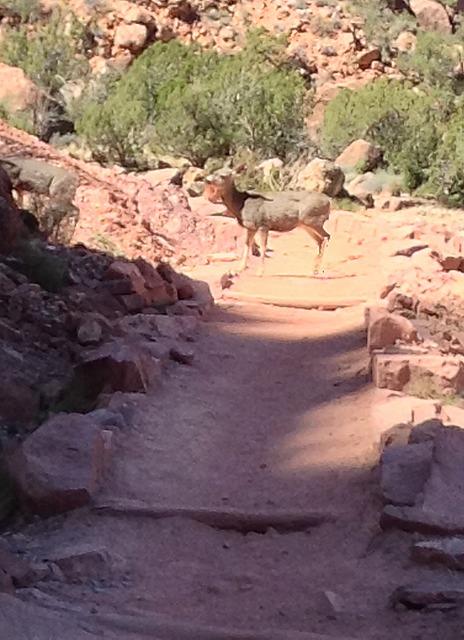 Deer on the path ahead