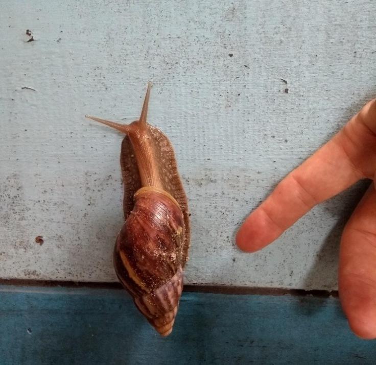 Tremendous snail
