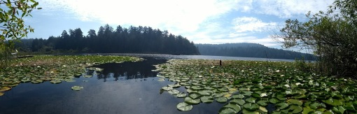 Swimmer's eye view of lily pads in Weston lake
