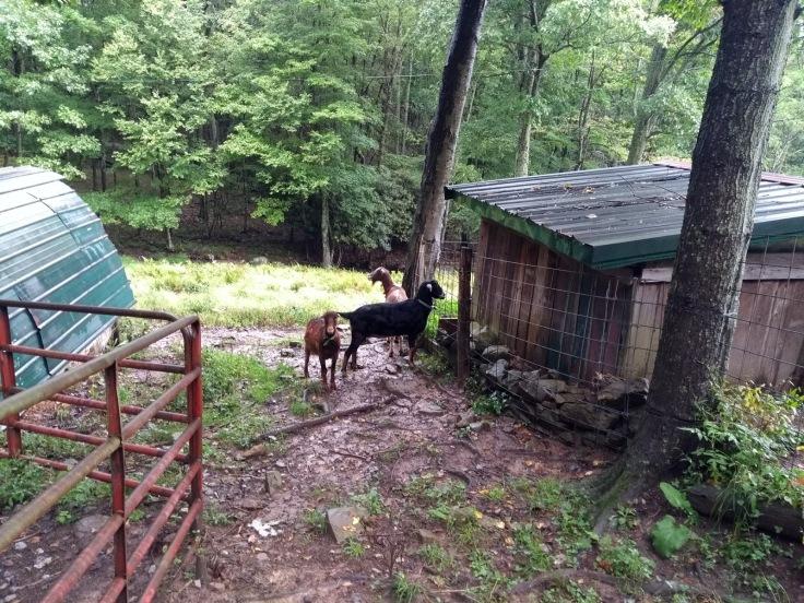Goats, Woods Hole hostel