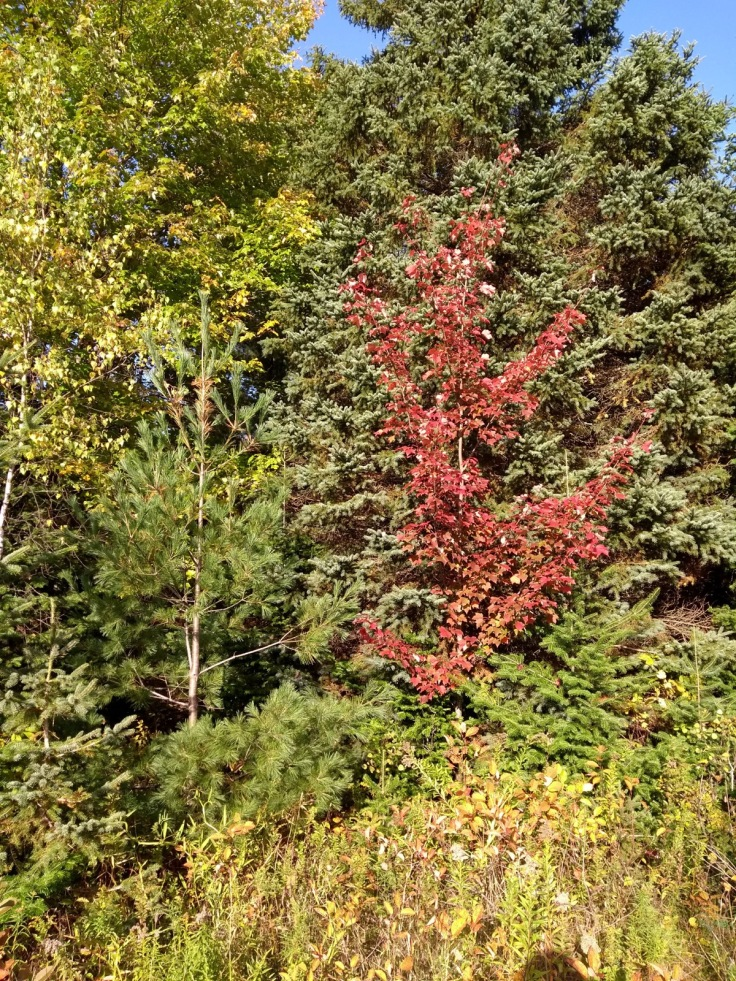 One red tree among several green ones