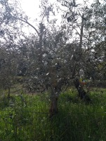 Olive tree with plastic bottle attached