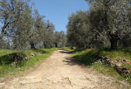 Hard-packed track, olive trees either side