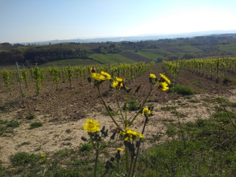 Yellow flowers in the foreground overlook straight line olive plantings