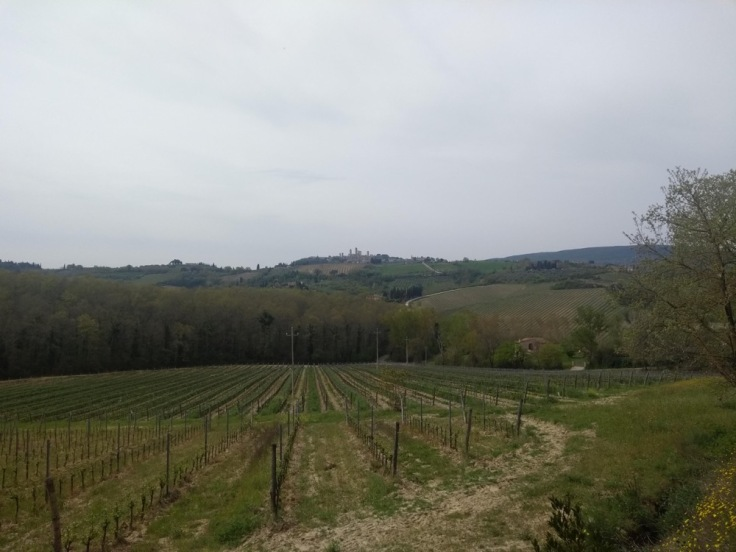 San Gimignano's towers in the distance, nascent olive grove in the foreground