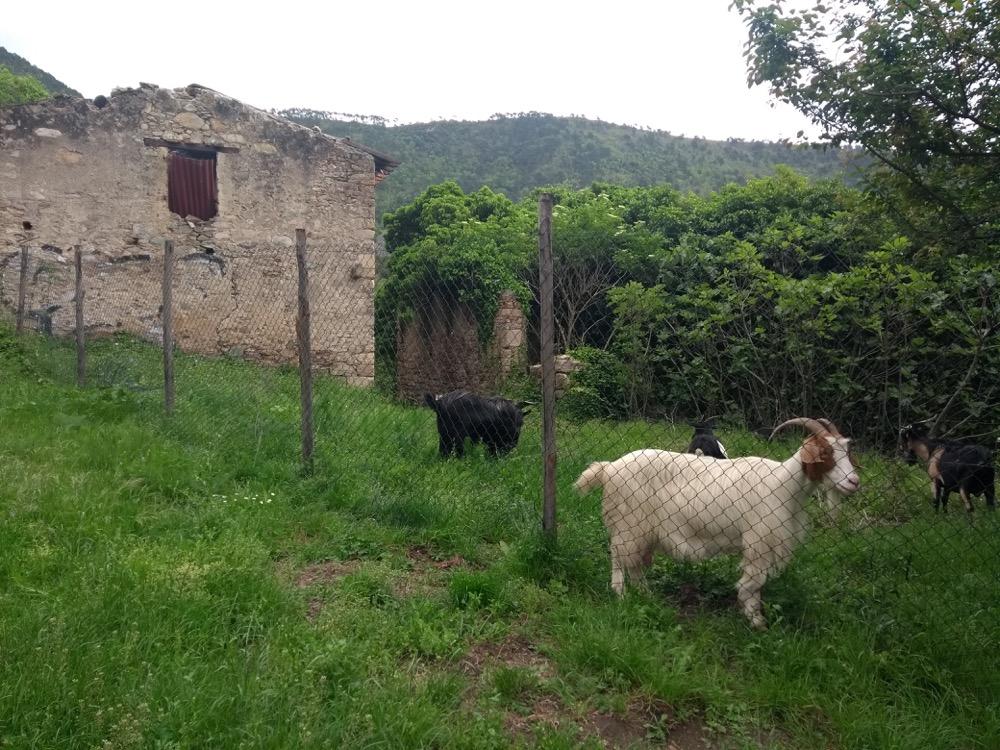 Goats, Mirteto