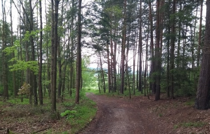 Tall, thin trees line a flat-packed mud trail