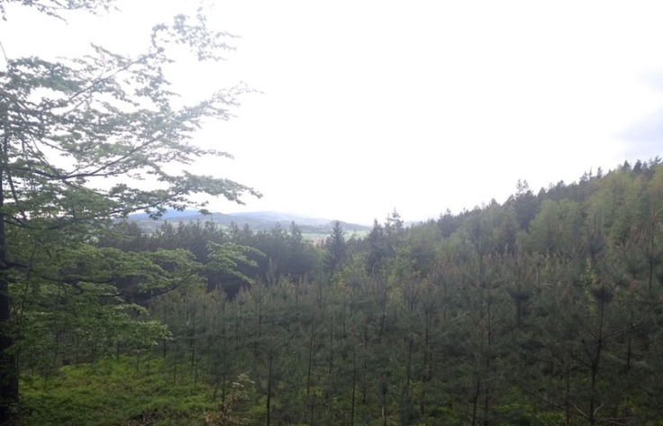 Pine trees on a sloping hill, looking down from a height.