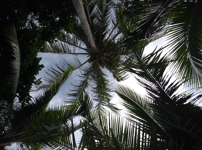 Looking up through palm tree leaves