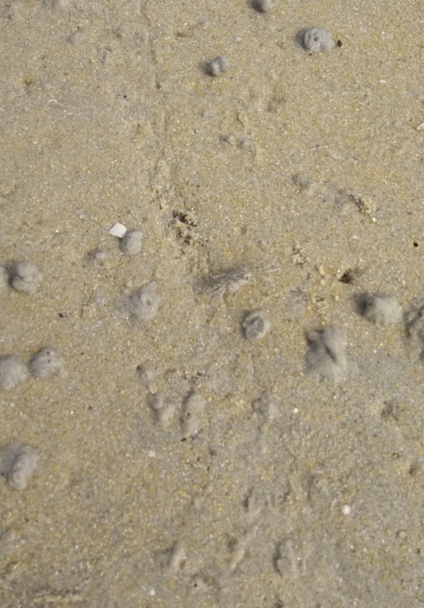 Tiny but fast-moving crab.