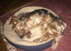 Golden terrier sleeps