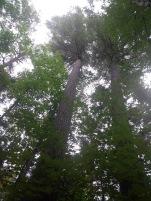 Big White Pine
