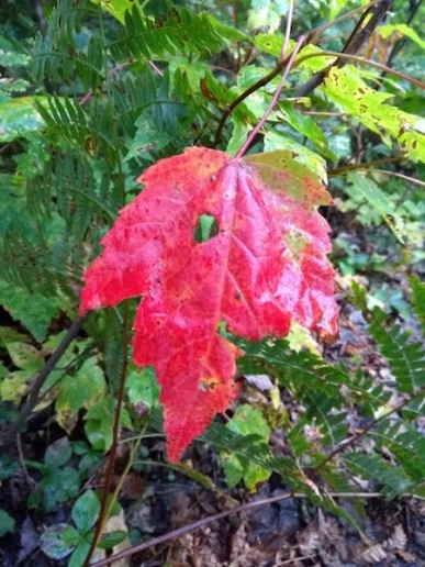 One red leaf among green ones as Autumn starts