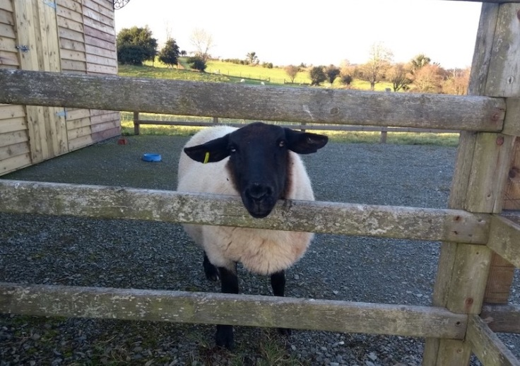 Sheep poking its head through fence slats